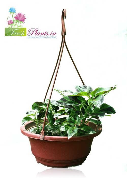 Coleus is probably one of the easiest plants to grow .they found in various combinations of green, yellow, pink, red, maroon, etc. It is one of the best indoor plant. available in many kind of pots. For Trade Enquiry  www.freshplants.in  Call us at :011-65450345, 9999907077, 9560696664 E-mail us : pnsbranding@gmail.com