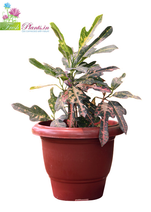 The croton is an evergreen Indoor plant. These plant need more light. at least 3 hours of direct sun light each day.    For trade enquiry :  Click Here  call us : 011-65450345, 9999907077, 9560696664 Email : pnsbranding@gmail.com