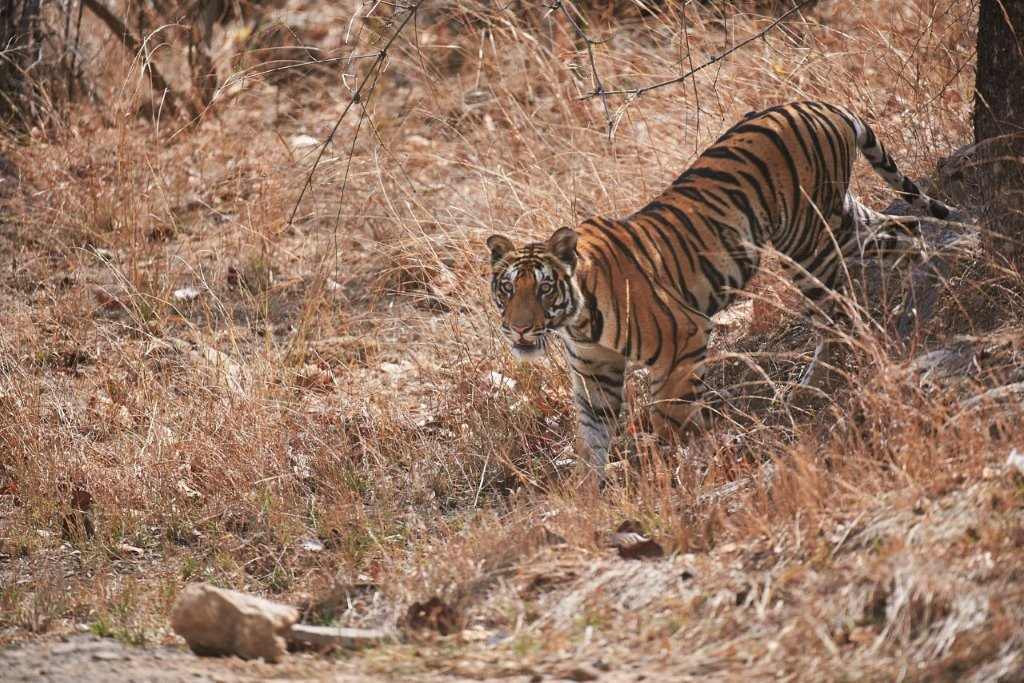 Bandhavgarh Tiger Safari will commence on Oct 01 2016. If you haven't booked your accommodation and safaris yet, please do so at the earliest. Should you wish to join our Tiger Photography Tour in April 2017, do let us know.
