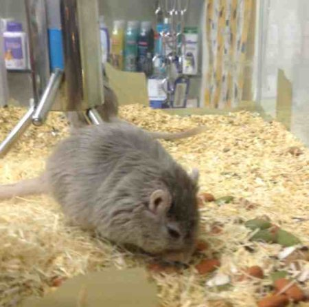 Gerbils for sale - by Pet Galaaxy, Hyderabad