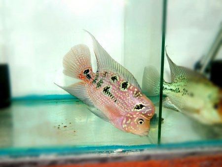 White eye pearl kamfa Size 4.5 inches  Price 3500 - by Fengshui Crossbreed India, Mumbai
