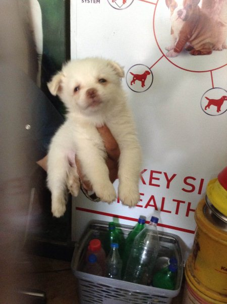 We have Pomeranian breed in Narayanguda .  - by Pet point, Hyderabad