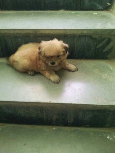 lhasa apso puppies available @ pet point himayathnagar - by Pet point, Hyderabad