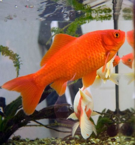 aquarium fish.  A relatively small member of the carp family (which also includes the koi carp and the crucian carp), the goldfish is a domesticated version of a less-colorful carp (Carassius auratus) native to east Asia. It was first domes - by Aqua Magic The Aquariums Shop, Ahmedabad