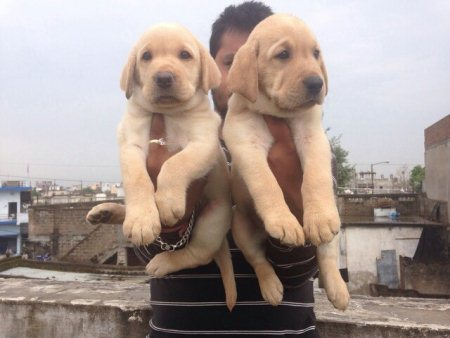 Excellent quality labrador puppies for sale @ pet point  himayathnagar hyderabad - by Pet point, Hyderabad