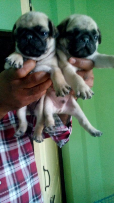 excellent quality pug puppies for sale  @ himayathnagar - by Pet point, Hyderabad