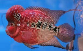 Flower horn fish Rs.5500.only - by Aqua Magic The Aquariums Shop, Ahmedabad