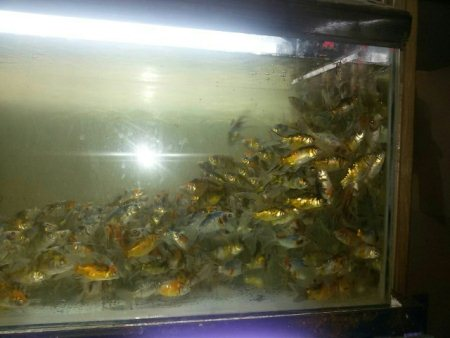 Subhanking fish  - by Aqua Magic The Aquariums Shop, Ahmedabad