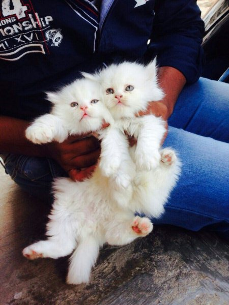 Excellent quality persian kittens for sale @  - by Pet point, Hyderabad