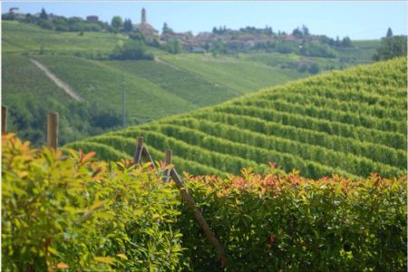 Our vineyard  - by Vinex, Varese