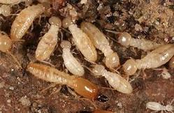 Best Pest Control In South Delhi Termite Control In East Delhi - by SHREE GANESH PEST CONTROL SERVICES, East Delhi