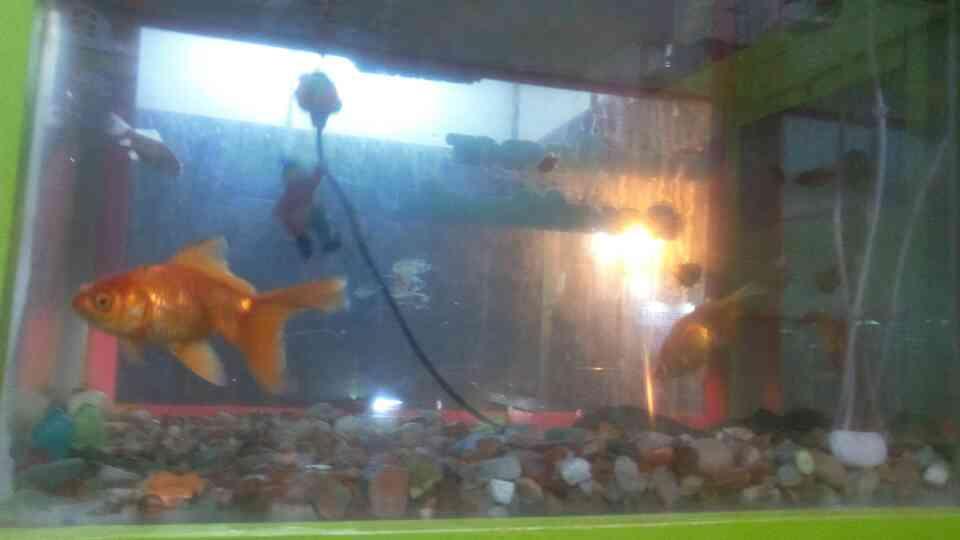 Gold fish - by Vishva pets, Dindigul