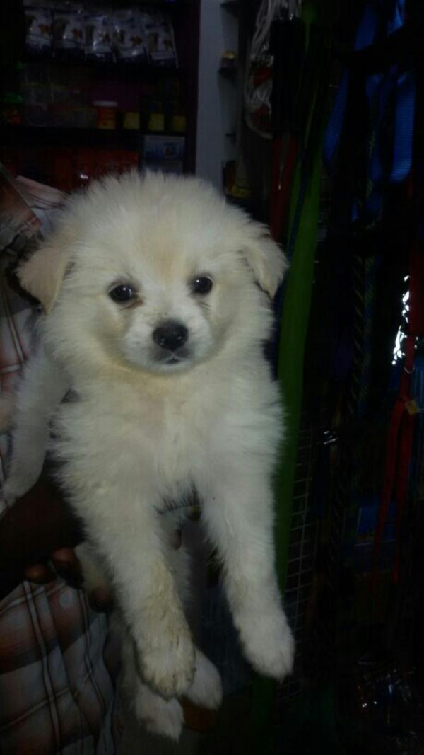 pomeranian puppy in dindigul  - by Vishva pets, Dindigul