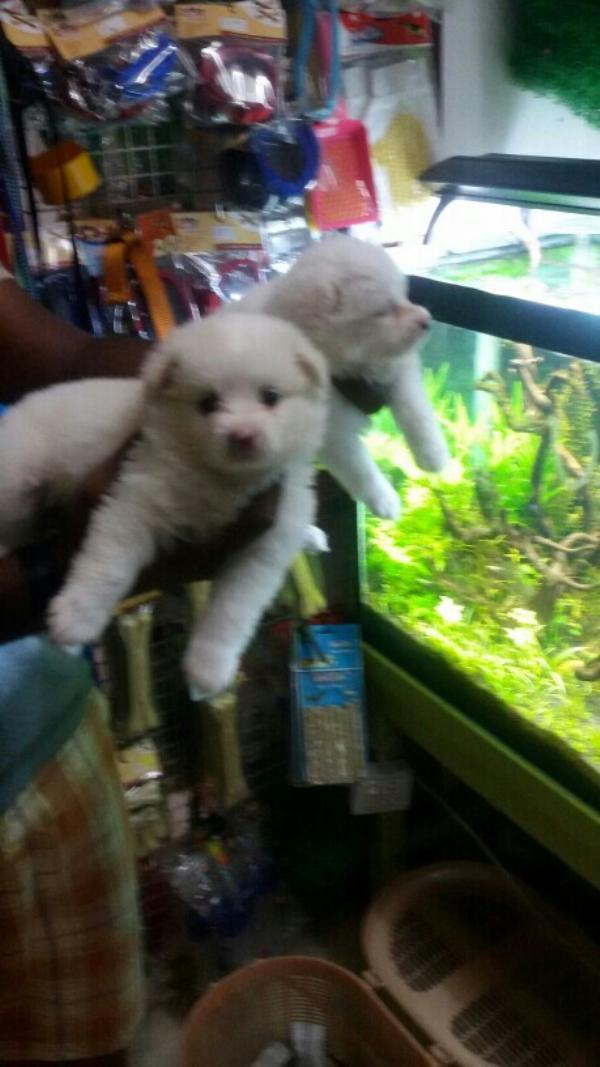 puppy in dindigul  - by Vishva pets, Dindigul