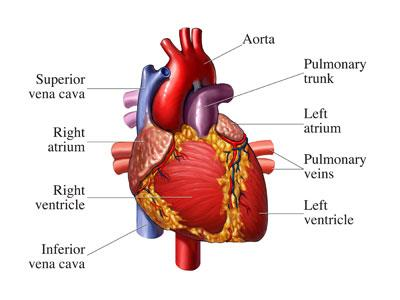 Anatomy of Heart - by Dr Manoj Bansal, Cardiologist Bombay Hospital Indore, Indore