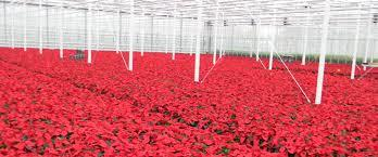Best Rose Nursery in Maharashtra - by Pushpalaxmirosenursery, Pune