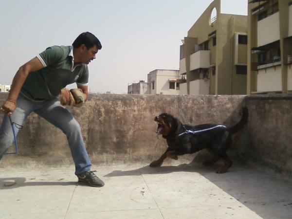 Why train your dog? Training provides a way to effectively communicate with your dog what is expected of him and to prevent unwanted behavior problems. we are Dog Training from last 16 years in pune & pcmc. - by Pets Glorious, Pune