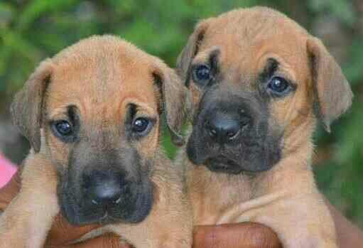Great Dane Pups In Coimbatore Best Dane Pups In Coimbatore Dane Pups In Coimbatore     - by COIMBATORE PETS, COIMBATORE