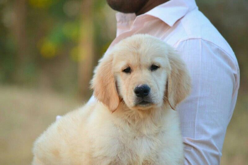 Best Price Golden Retriever Pups In Coimbatore Good Quality Golden Retriever Pups In Coimbatore Quality And Cute Pups In Coimbatore - by COIMBATORE PETS, COIMBATORE