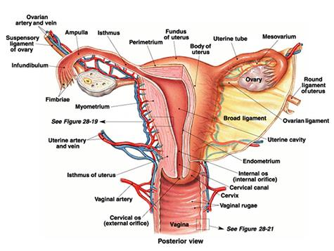 Female Evaluation :  Hysteroscopy  IVF  IUI  CASA  Semen banking  Councelling - by Pooja Fertility Centre | Andrologists | Vizag, Visakhapatnam