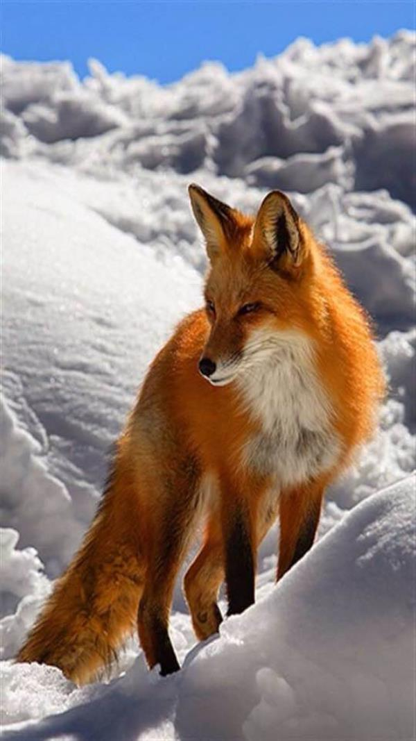These are the foxes of wisconsin. People say that these guys wag there tail and dance around when they are happy but instead they do that when there mad - by Animal Smart, Story County