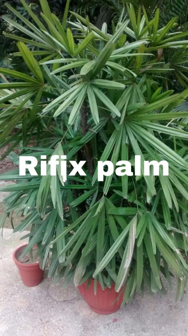 indoor plants in south Delhi  Indoor plants are to enhance beauty of your office , home and your lawn. These pants are used as air purifier and are very good for your health.   - by RAK Nursery & Farm House - Palm Leaves, New Delhi