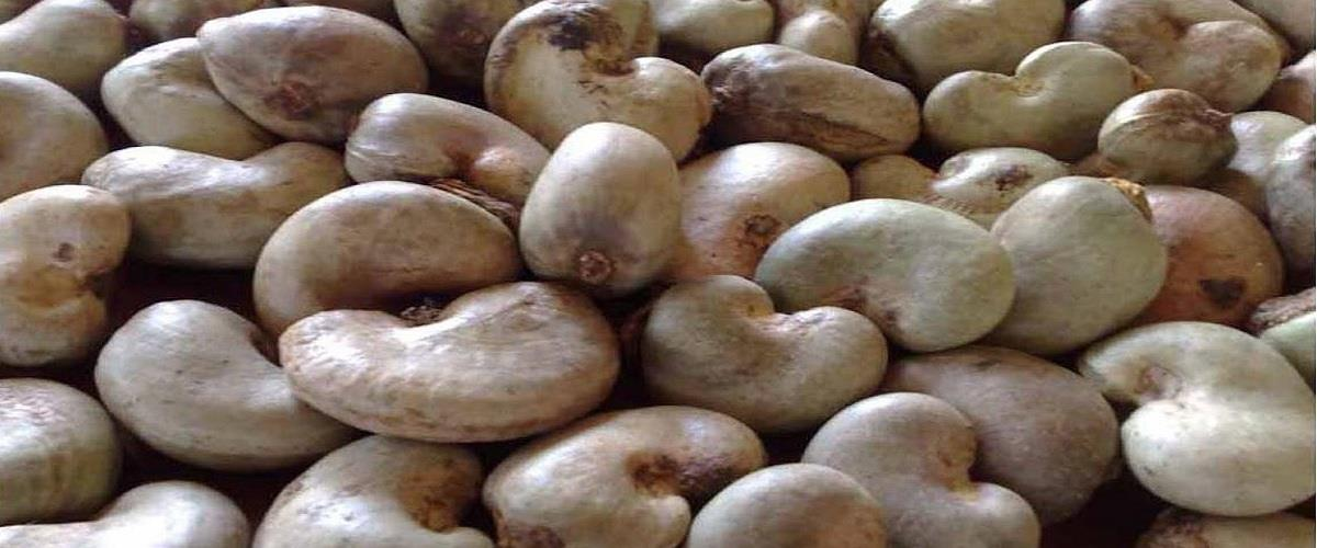 Raw Cashew Nuts We offer best quality Raw Cashew due to our rich experience in this domain. These products are processed using sophisticated machinery at our state-of-the-art manufacturing unit in order to ensure high standards of quality.  - by Akshar Cashew Industries pvt Ltd, Ahmedabad