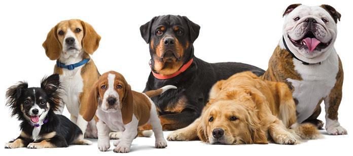 """Our aim has always been the same, to Breed and Trade Quality #Puppies of Excellent Blood Lines. """"Dogs for Sale"""". - by Rajesh Pets Shop 