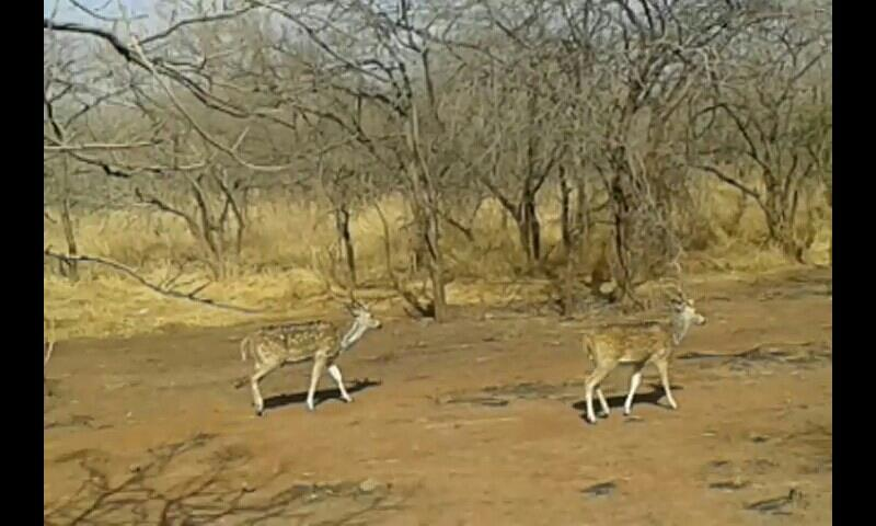 GIR Forest.......# Fabulous tourist place , Fantastic wildlife scene....  LOTS OF ASIATIC LIONS...... @the only GIR - by Saxena Science Educations, Ahmedabad