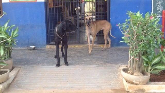 We have :  Chuvuavua ( pocket dog )  Labrador Retriever ( Lab )  Great Dane  German Shepherd ( Gsd ) - by Rajesh Pets Shop | Dog Trainings | Security  | Visakhapatnam, Visakhapatnam