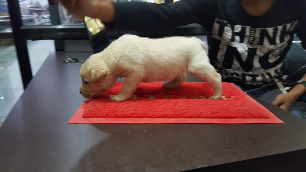 labrador 35 days old male pup for sale. - by Sun Pet Shop, Vadodara