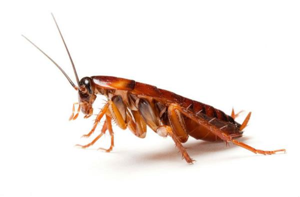 Indian cockroach s - by Pest control India pvt Ltd, Chennai