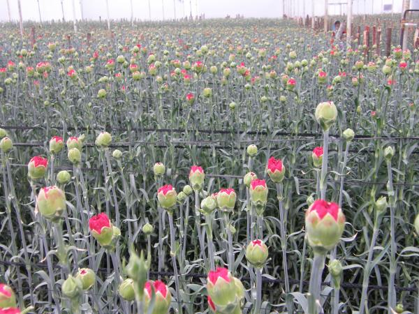 Carnation Net In India Crop Support Net In India Cucumber Net In India - by Prathu Agro, Coimbatore