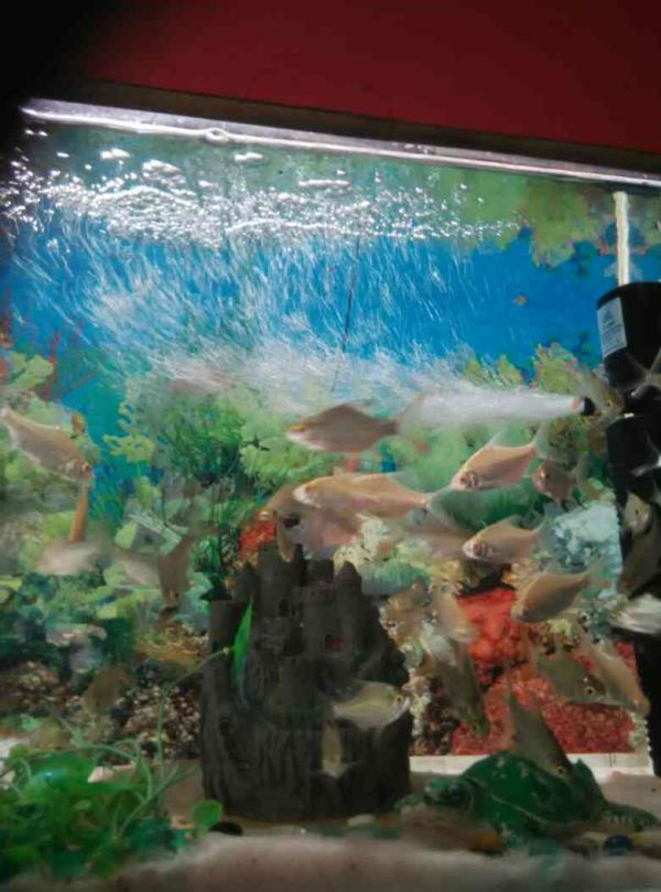 This fishes like a good n actively fleshes n too long life fishes. N my shop u visiting near dwarka mor metro station piller no 775 opposite spring Meadows school  - by Mukul Pet Point, New Delhi