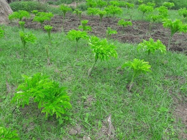 Organic Vegetables In Chennai  Organic Elephant Foot (Yam) farm from Tapovana  In Tapovana Yam is cultivated without any chemical fertilizers or chemical additives.  Yam is used in traditional medicine systems, and in Ayurveda it is used fo - by TAPOVANA ORGANIC FARMS, Chennai