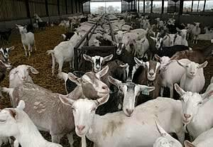 Decide how many male and female goats to purchase. ..........        There are three main types of goats divided by sex: females, called does; uncastrated males, called bucks; and castrated males, called wethers. Does need to be impregnated - by Farm Business India-9884442068, Chennai