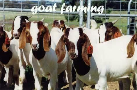 Are you considering starting a Goat Farming Business?         if yes, you'll find this website to be extremely helpful.    http://goatfarmdevelopers.com This is a practical guide that will walk you step by step through all the essentials of - by Farm Business India-9884442068, Chennai