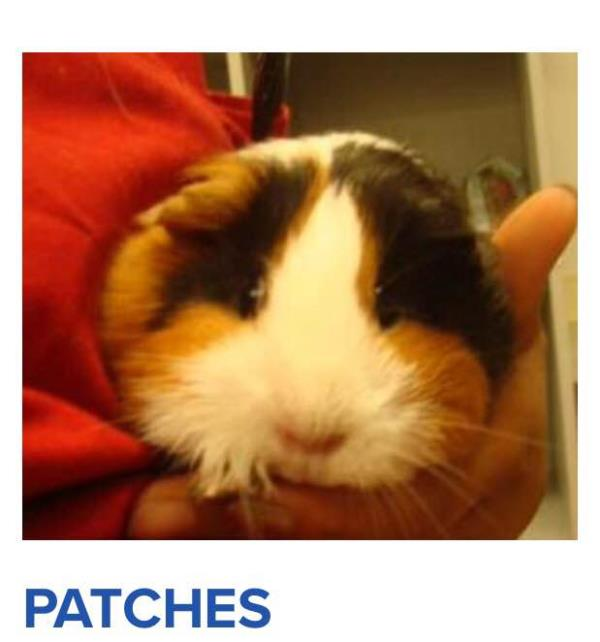 Hi I'm catches a guinea pig my life hasn't been so good Intel the Houston SPCA rescued me for more information about me go to the Houston SPCA.com - by You Can Make A Differance, St. Charles County