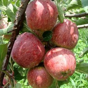 Organic Apples  Organic Apples from Himachal has arrived...  No Chemical pesticides  No Cold storage  No waxes and Coatings  Buy them online at www.organictapovana.com or call 9962299398 for phone order  Free home delivery for Bill amount o - by TAPOVANA ORGANIC FARMS, Chennai