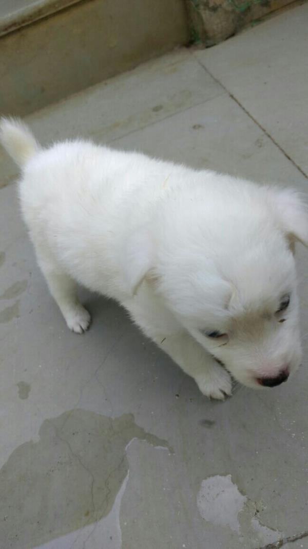 Pomeranian puppies for sale in Nagpur  - by Crazy Pets .Com, Nagpur